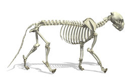 Cat Skeleton Royalty Free Stock Images