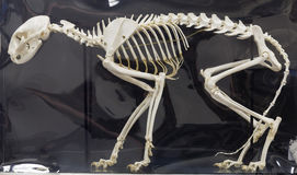 Cat Skeleton Anatomical Display Imagem de Stock Royalty Free