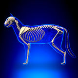 Cat Skeleton Anatomy - anatomi av en Cat Skeleton royaltyfri illustrationer