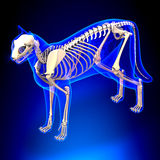 Cat Skeleton Anatomy - anatomi av en Cat Skeleton - perspektiv V arkivfoto