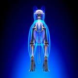 Cat Skeleton Anatomy - anatomia de Cat Skeleton - vista traseira imagens de stock royalty free