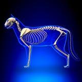 Cat Skeleton Anatomy - Anatomy of a Cat Skeleton royalty free illustration