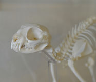 Cat Skeleton for Biology Experiment. A detailed and well-preserved cat skeleton.  Photos taken September 2015 Royalty Free Stock Photography