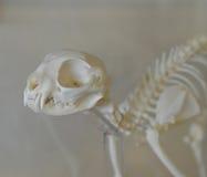 Cat Skeleton pour l'expérience de biologie Photographie stock libre de droits