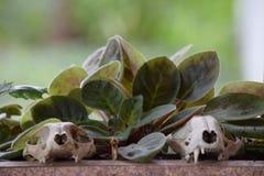 Cat Skeleton Skull und Eckzähne Lizenzfreies Stockbild