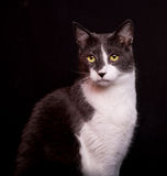 Cat with Skeptical Expression On Black Background. Pretty gray and white cat looks at the camera with a skeptical or bemused look Royalty Free Stock Images