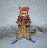 Cat skier in snow. The cat in a knitted hat and a scarf is skiing stock photo