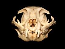 Cat skull stock photography