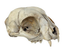 Cat Skull. Close-up Photo of Cat Skull Isolated on white background (with clipping path Royalty Free Stock Image