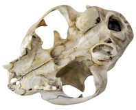 Cat Skull. Close-up Photo of Cat Skull Isolated on white background (with clipping path Stock Photo