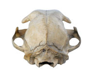 Cat Skull Royalty Free Stock Photo