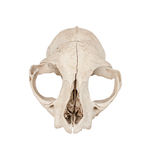 Cat skull Royalty Free Stock Photography