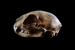 Cat skull Stock Images