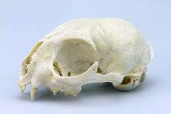 Cat skull Royalty Free Stock Images
