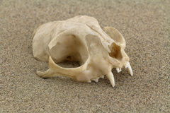 Cat skull dug in desert sand Stock Photography