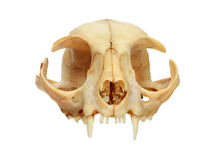 Cat skull front Royalty Free Stock Photo