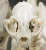 Cat Skull Front View Stock Foto's