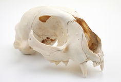 Cat skull side view Stock Image