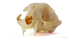 Cat skull. On white background, showing fangs royalty free stock images