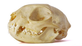 Cat skull. On white background, showing fangs stock photo