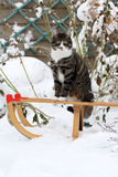 Cat on a sled. A cat sitting on a sled in the snow Stock Photo