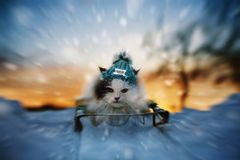 Cat sledding in winter Stock Image
