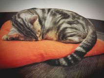 Cat Sleep Fotografia de Stock Royalty Free