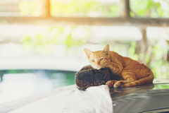 Cat Sleep Imagem de Stock Royalty Free