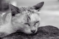 The cat sleep, black & white Royalty Free Stock Image