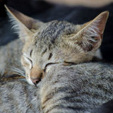 Cat sleep. Royalty Free Stock Photo