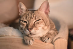 Cat at sleep Stock Image