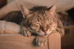 Cat at sleep Royalty Free Stock Images