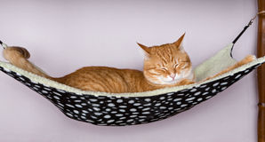 Cat sleep in a fur hammock Stock Photos