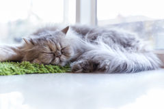 Cat sleep on green carpet near window Stock Photos