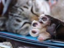Cat Sleep Shows Paw op het Bureau stock foto's
