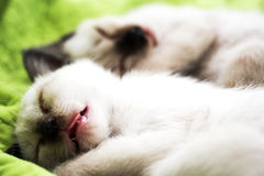 Cat sleep. Siames cat sleep together sweet dream Royalty Free Stock Photo