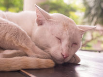 Cat sleep on the table top with sick in the leg Stock Photos