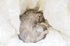 Cat sleep In white cloth Royalty Free Stock Photo