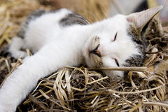 Cat Sleeping. Cute little cat sleeping ,eye closed,leg out Royalty Free Stock Images