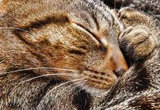 Cat sleeping. Closeup of a tabby cat sleeping Royalty Free Stock Image