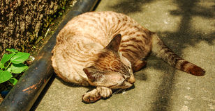 Cat Sleeping Fotografie Stock