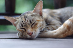 Cat Sleeping Royaltyfri Fotografi