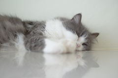 Cat Sleeping Fotografia de Stock Royalty Free