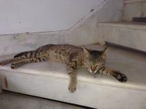 Cat Sleeping Fotografie Stock