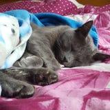 Cat Sleeping Fotografie Stock Libere da Diritti