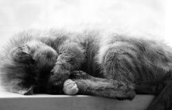 Cat Sleeping Royaltyfri Foto