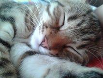 Cat Sleeping Immagine Stock