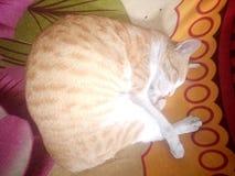Cat Sleeping Images stock