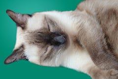 Cat Sleeping Royalty-vrije Stock Foto