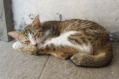Cat Sleeping Lizenzfreie Stockfotos